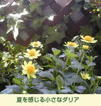 07/09テラスのダリア