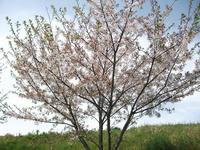 通り道で見掛けた桜