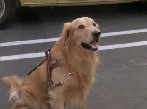盲導犬シュガー
