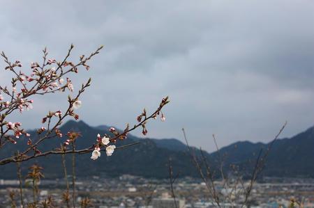 桑山展望の桜