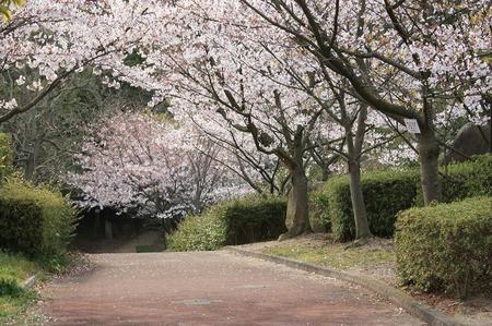 桑山山頂の桜