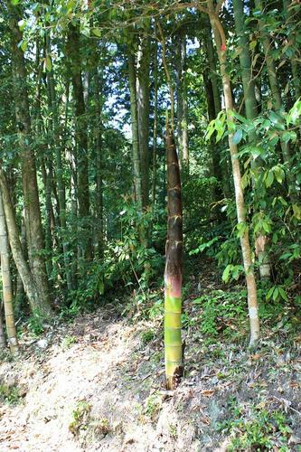 竹になるつつあるたけのこ