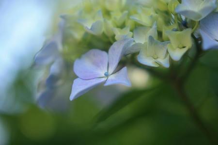 紫陽花-太陽光