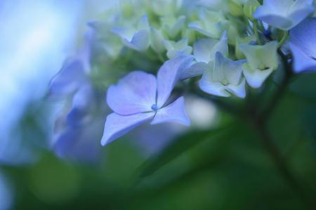 紫陽花-白色蛍光灯
