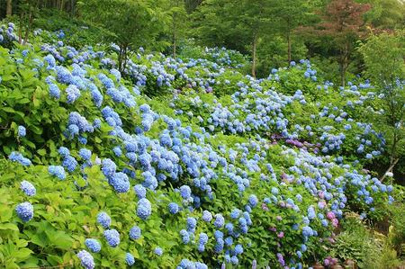 菓子乃季 総本店の紫陽花