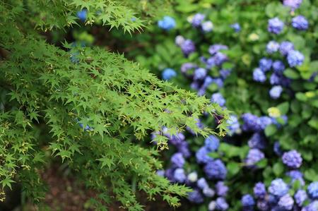 紫陽花とモミジ