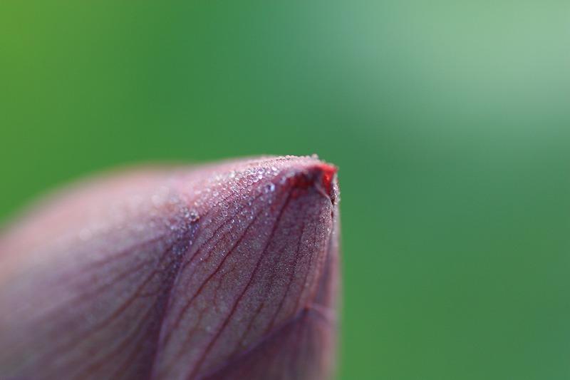 蓮のつぼみ