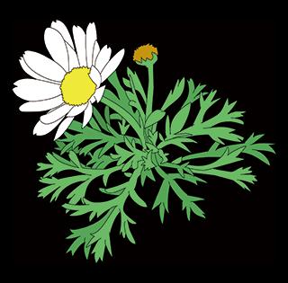 無料 素材 商用可 マーガレット 花 Royalty free Marguerite flower