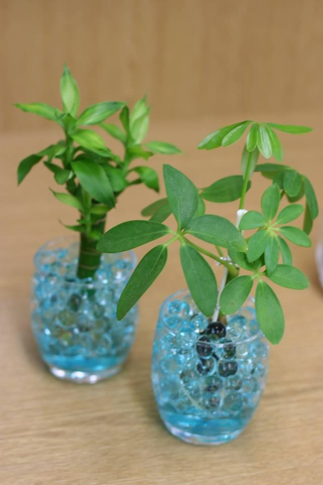 カポック クリスタルジェル アクアジェル 観葉植物