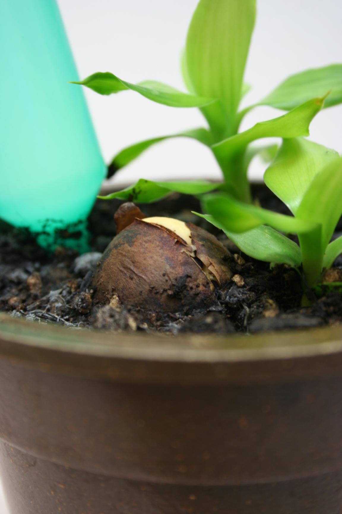 アクアジェリーボール アボガド アボカド 種 栽培 発芽 発根 鉢植え 水栽培 ジェリーボール アクアビーズ ジェル ジェリービーズ
