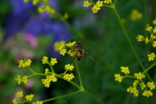黄色い花(不明)とミツバチ