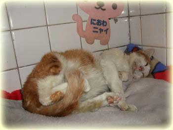 2008年 8月 30日のタンタン❤ お腹いっぱいでまた爆睡Zzzz