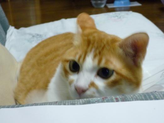 ソファのひじおき部分に身を隠しつつ(隠せてないけど)、私の指を攻撃してくる愛猫。
