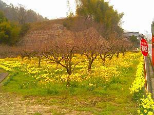 筒賀の黄色い花畑