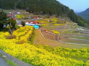 井仁の菜の花畑