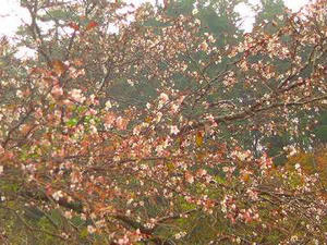 寺領の裏咲き桜