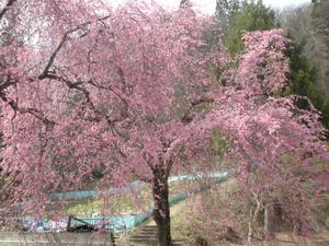 猪山の枝垂桜