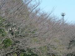 070318多摩川の桜並木の枝