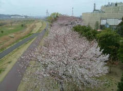 0604多摩川の桜