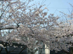 070329上野の公園の桜