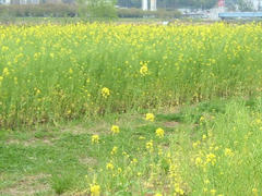 多摩川の河川敷に咲く菜の花