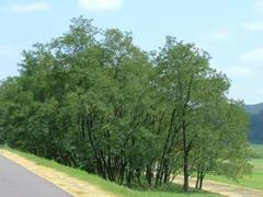 盛夏 多摩川の木々