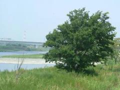多摩川の岸辺の木