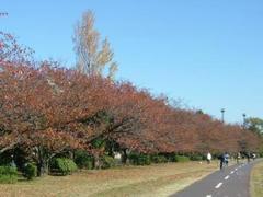 多摩川の紅葉絶景