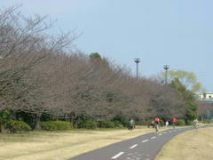 多摩川☆桜並木