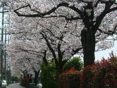 多摩川通☆桜満開