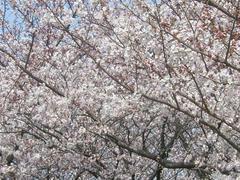 多摩川通の桜の木々