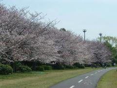 岸辺の桜並木の桜0329