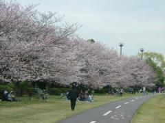 岸辺の桜並木の桜0330