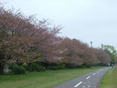 多摩川の桜並木