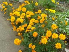 多摩川のオレンジ色に咲いた花