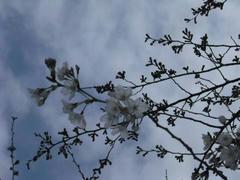 木々の枝の桜