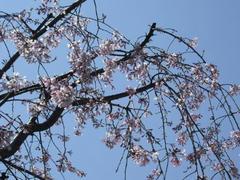 隅田公園のしだれ桜
