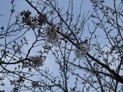多摩川・一輪の桜