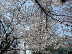 浅草☆桜満開