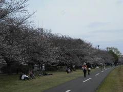 多摩川の岸辺の桜