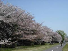 多摩川・岸辺の桜