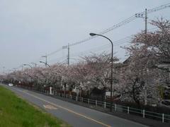 多摩川・桜の季節