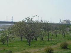 多摩川の木々の新緑
