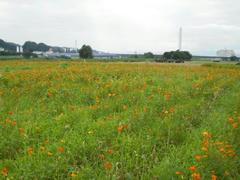 多摩川のお花畑♪