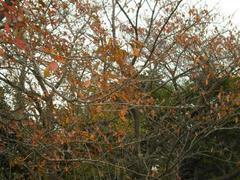 多摩川・桜並木の紅葉