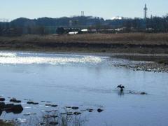 多摩川☆水鳥の休息