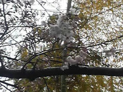 浅草・ちいさな公園の桜