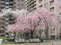 荒川公園☆しだれ桜