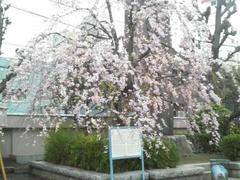 東本願寺・しだれ桜