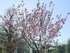浅草・八重桜